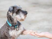 Le chien futé de plan rapproché, chien de schnauzer donnent sa jambe à la main de femme sur le plancher brouillé de ciment à l'ar Photos stock