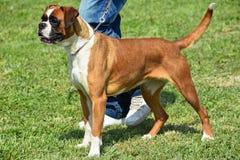 Le chien gentil de boxeur se tient dehors images libres de droits