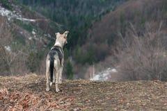 Le chien gris se tient sur une colline dans les montagnes Image libre de droits