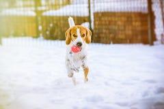 Le chien heureux de briquet fonctionnent avec une boule sur la neige Photos stock