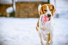 Le chien heureux de briquet fonctionnent avec une boule sur la neige Photos libres de droits