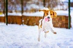 Le chien heureux de briquet fonctionnent avec une boule sur la neige Photo libre de droits