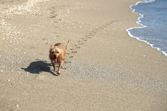 Le chien heureux laissant la patte imprime sur le chanteur Island Beach Photos stock