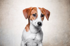 Le chien heureux pose Photographie stock