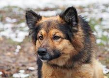 Le chien hirsute alerté Image stock