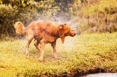 Le chien humide secouant et éclaboussant l'eau laisse tomber tous autour Images libres de droits