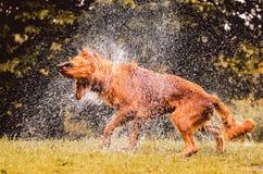 Le chien humide secouant et éclaboussant l'eau laisse tomber tous autour Image stock