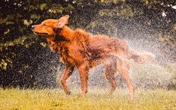 Le chien humide secouant et éclaboussant l'eau laisse tomber tous autour Photo libre de droits