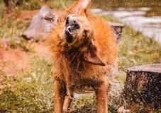 Le chien humide secouant et éclaboussant l'eau laisse tomber tous autour Photographie stock
