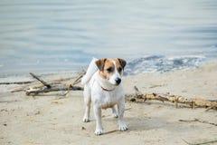 Le chien Jack Russell joue avec le grand bâton sur la plage sablonneuse contre l'eau de rivière bleue Image stock