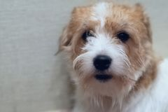 Le chien Jack Russell Terrier font face au plan rapproché photographie stock libre de droits