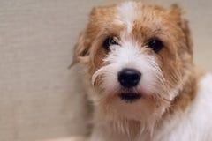 Le chien Jack Russell Terrier font face au plan rapproché image libre de droits