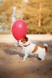 Le chien Jack Russell Terrier saute dans le ciel pour attraper des ballons de vol Photos libres de droits