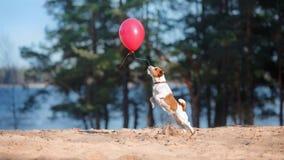 Le chien Jack Russell Terrier saute dans le ciel pour attraper des ballons de vol Image stock