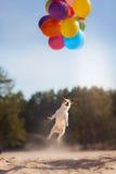 Le chien Jack Russell Terrier saute dans le ciel pour attraper des ballons de vol Photographie stock