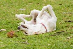 Le chien joue avec la noix de coco que c'est amusement Photo stock