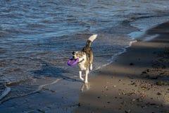 Le chien joue sur le bord de la mer Image libre de droits