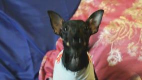 Le chien jouet-Terrier aboie et pose sur l'appareil-photo banque de vidéos