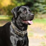Le chien Labrador noir brille au soleil Images libres de droits