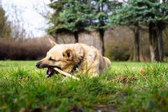 Le chien mâche le bâton Image libre de droits