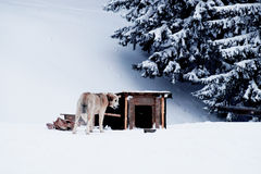 Le chien mâche un os près de la cabine pendant l'hiver Photo libre de droits