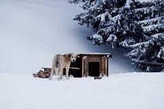 Le chien mâche un os près de la cabine pendant l'hiver Photographie stock