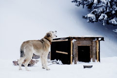 Le chien mâche un os près de la cabine pendant l'hiver Photos libres de droits