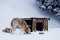 Le chien mâche un os près de la cabine pendant l'hiver Images libres de droits