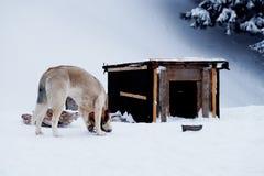 Le chien mâche un os près de la cabine pendant l'hiver Photographie stock libre de droits