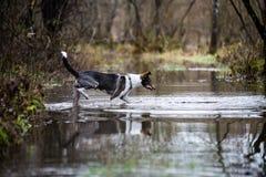 Le chien méfiant joue dans l'eau Images stock