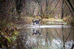 Le chien méfiant joue dans l'eau Photo libre de droits