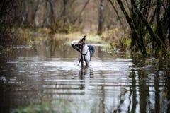 Le chien méfiant joue dans l'eau Photos stock