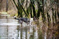 Le chien méfiant joue dans l'eau Image stock