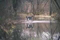 le chien méfiant joue dans l'eau - effet de film de vintage Images libres de droits