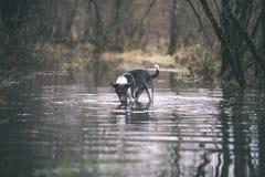 le chien méfiant joue dans l'eau - effet de film de vintage Photo libre de droits