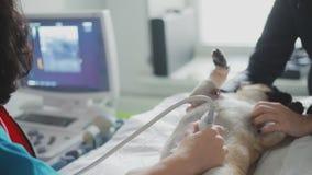 Le chien malade de roquet est sur le diagnostic d'ultrason dans une clinique vétérinaire banque de vidéos