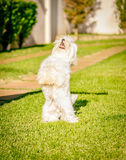 Le chien maltais représentent la nourriture de attente au soleil Image stock