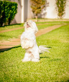 Le chien maltais représentent la nourriture de attente au soleil Photographie stock