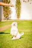 Le chien maltais représentent la nourriture de attente au soleil Photo stock
