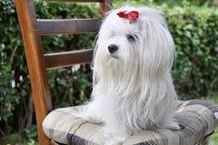 Le chien maltais se repose sur une chaise et examine la distance Photo libre de droits