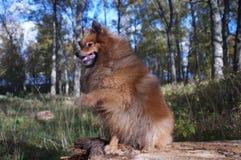 Le chien-man& x27 ; le meilleur ami de s, le Spitz allemand est beau Photos stock