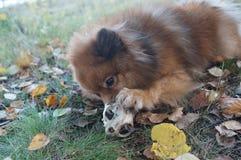 Le chien-man& x27 ; le meilleur ami de s, le Spitz allemand est beau Photographie stock libre de droits