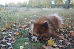 Le chien-man& x27 ; le meilleur ami de s, le Spitz allemand est beau Image libre de droits