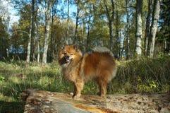 Le chien-man& x27 ; le meilleur ami de s, le Spitz allemand est beau Photo stock