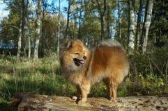 Le chien-man& x27 ; le meilleur ami de s, le Spitz allemand est beau Photos libres de droits