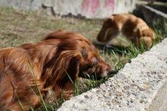 Le chien mange l'herbe Les chiens mangent l'herbe verte de lame pour le mal de ventre Chiots mangeant l'herbe Douleur de chien v? photo libre de droits