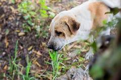 Le chien mangent l'herbe photos libres de droits