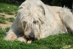 Le chien menteur de chien-loup irlandais mange l'os sur l'herbe Le chien ronge un os dans le jardin sur la pelouse Images libres de droits