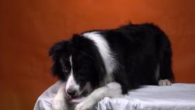 Le chien mignon avec coller l'oreille balance sa patte, studio banque de vidéos