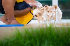 Le chien mignon de chiwawa prennent un bain à la maison Images stock